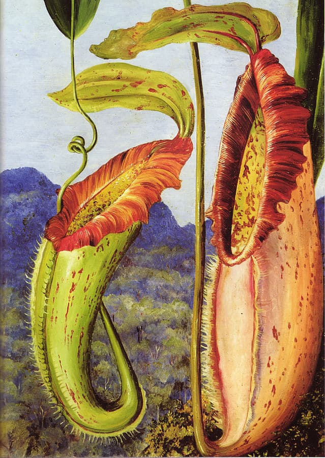 639px-Nepenthes_northiana_by_Marianne_North